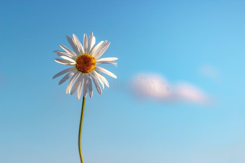 Kamille tegen de blauwe hemel De zomerachtergrond royalty-vrije stock afbeelding
