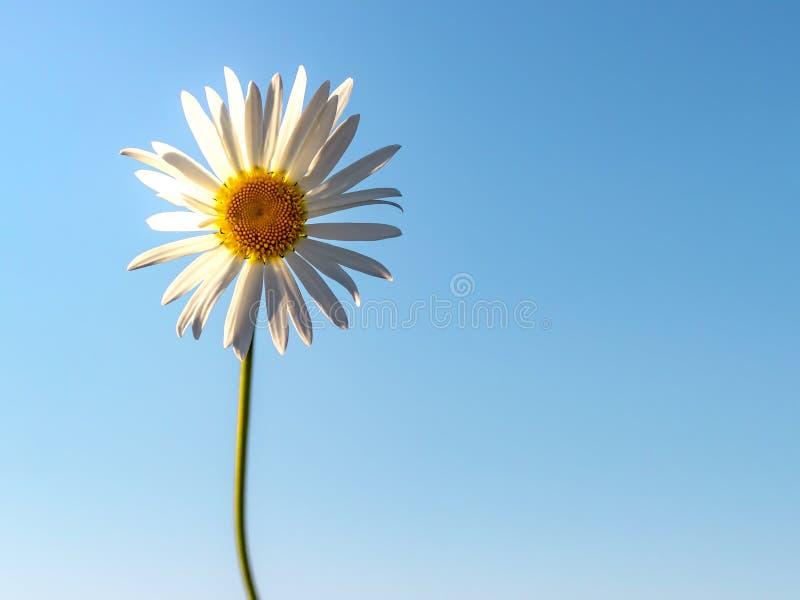 Kamille tegen de blauwe hemel De zomerachtergrond stock afbeeldingen