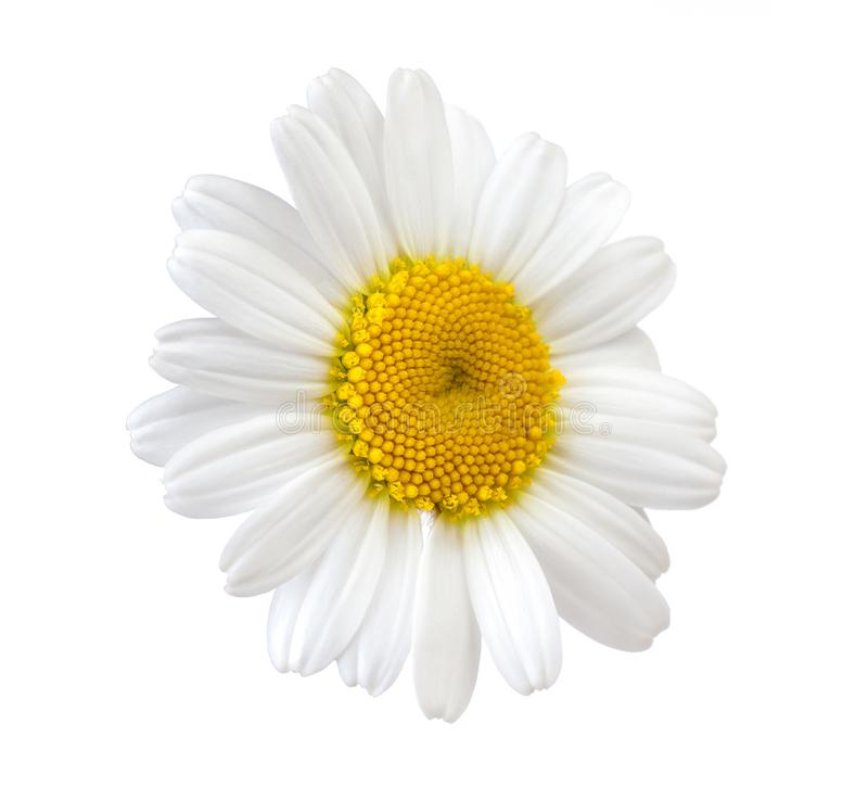 Kamille witte die bloem op witte achtergrond wordt geïsoleerd stock foto's