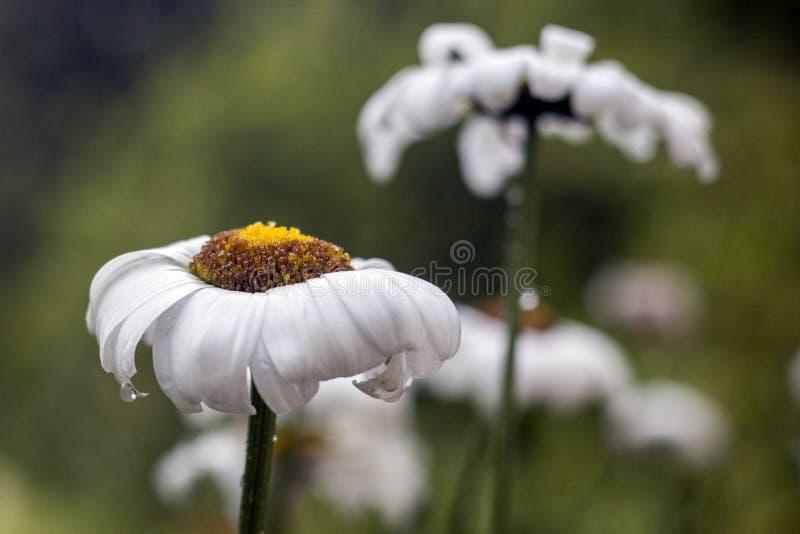 Kamillebloem na regen stock afbeeldingen