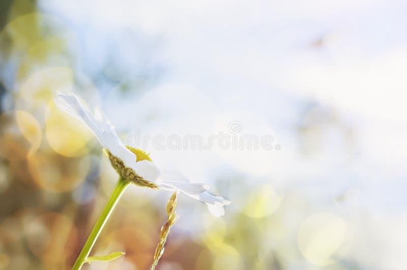 Kamillebloem tegen een heldere blauwe hemel Mooie natuurlijke achtergrond Exemplaar-ruimte voor tekst royalty-vrije stock foto