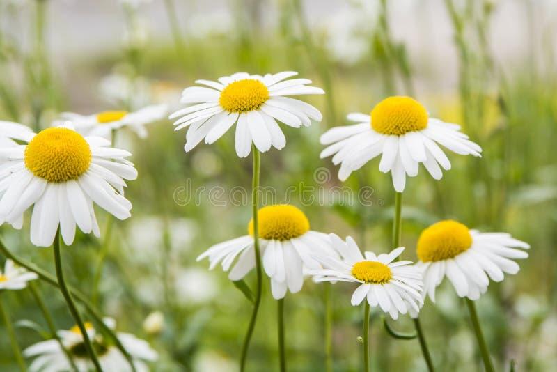 Kamillebloemen royalty-vrije stock afbeeldingen