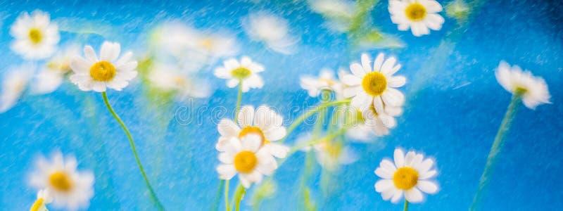 Kamillebloemen in regen royalty-vrije stock fotografie
