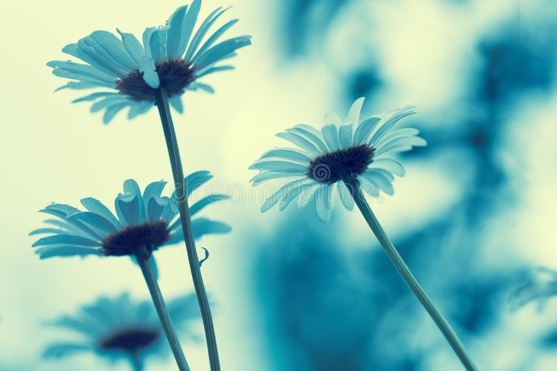 Kamillebloemen tegen de zonsonderganghemel stock foto
