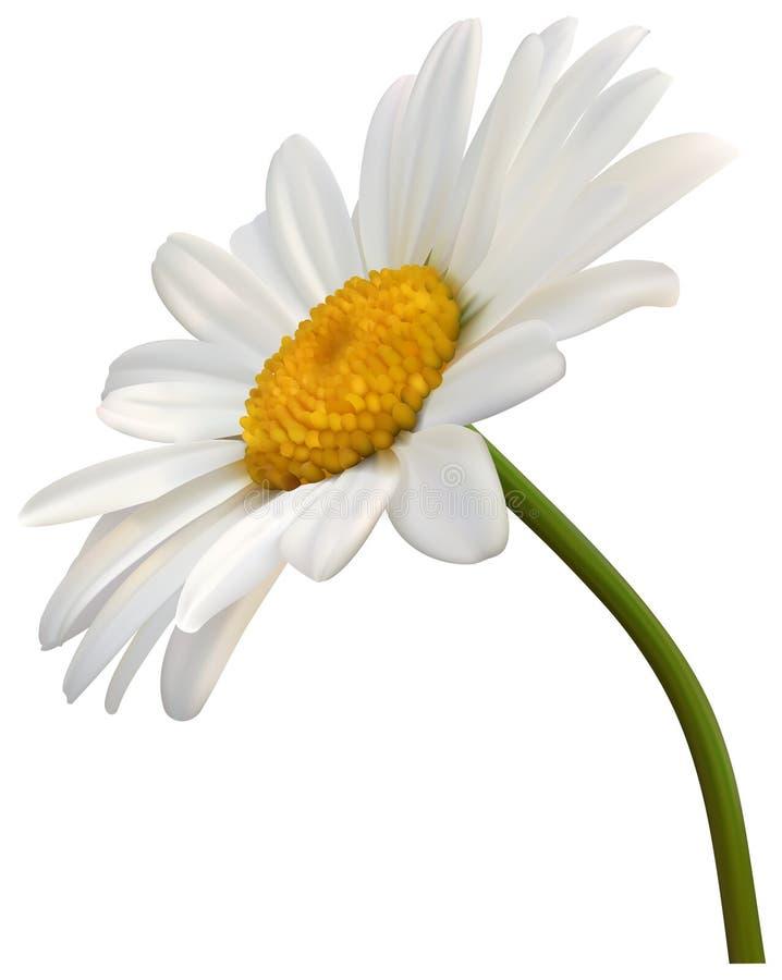 Kamillen-Blume getrennt stock abbildung