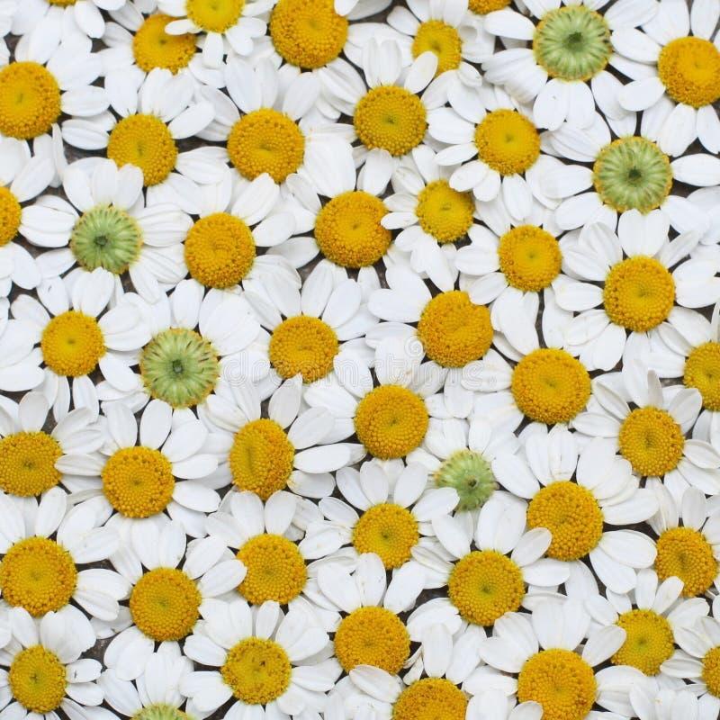 Kamillen-Blumenebenen-Lage lizenzfreie stockfotografie