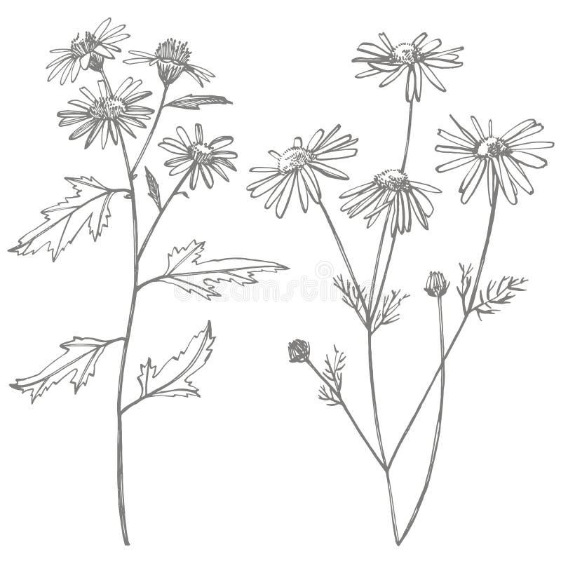 Kamillen- oder G?nsebl?mchenblume Botanische Illustration Gut für Kosmetik, Medizin, behandelnd, Aromatherapie, Krankenpflege vektor abbildung