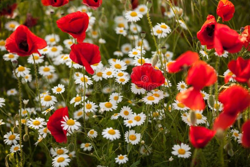 Kamillen- und Mohnblumenblumen auf einem Feld stockfotos
