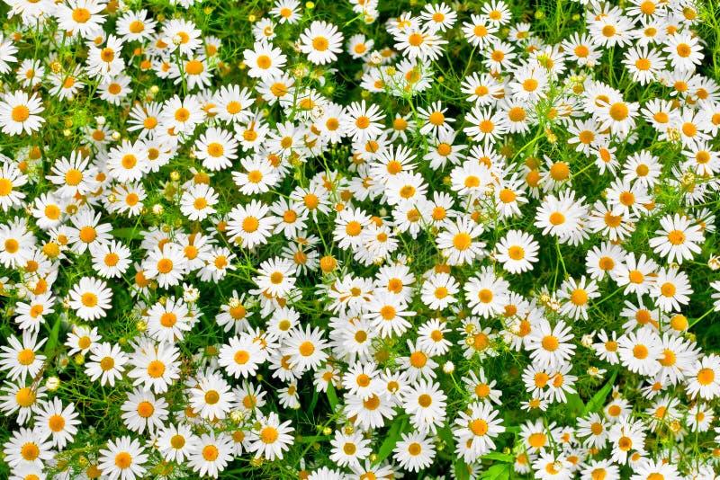 Kamillengänseblümchen-Wiesenhintergrund stockbild