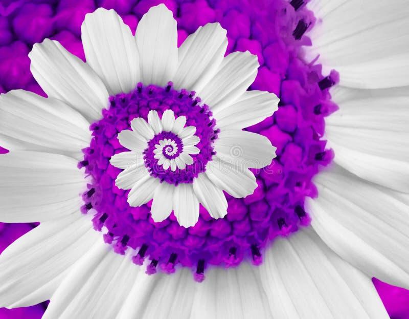 Kamillengänseblümchenkosmos kosmeya Blumenspiralenzusammenfassung Fractaleffekt-Musterhintergrund des weißen Veilchens Spiralenzu lizenzfreies stockbild