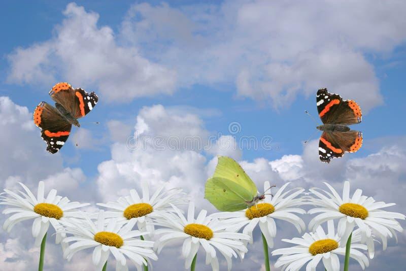 Kamilles en vlinders stock afbeeldingen