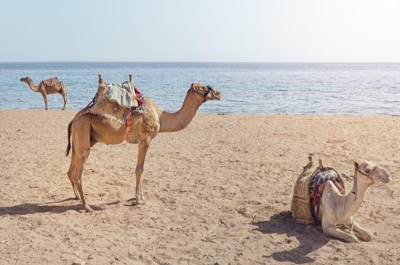 Kamlet ligger på sanden arkivfoton