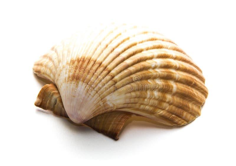 Kamm-Muscheloberteil auf dem weißen Hintergrund lizenzfreies stockfoto