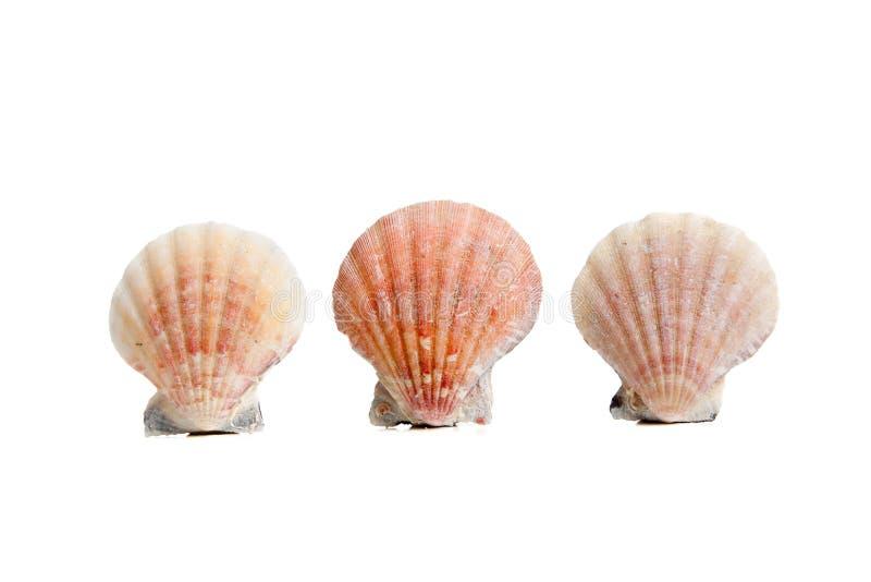 Kammosselen/overzeese shells op een witte achtergrond stock fotografie