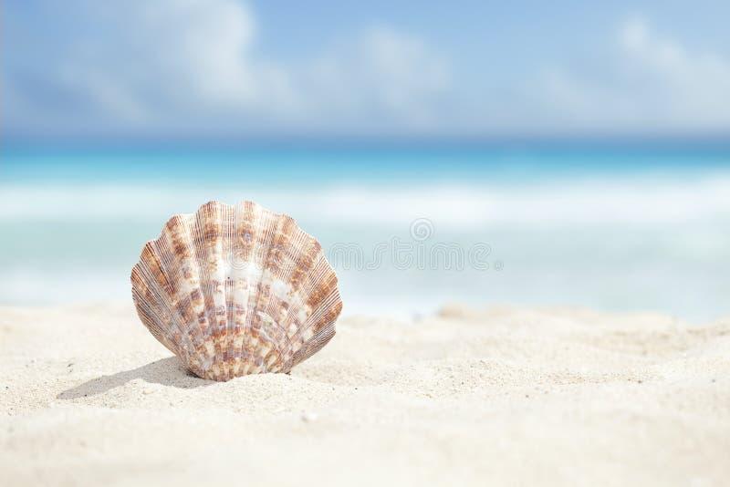 Kammussla Shell i sandstranden av det karibiska havet royaltyfri foto