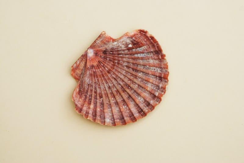 Kammussla Shell på neutral elfenbenbakgrund closen colors slappt övre siktsvatten för liljan Sommar och Holliday Concept royaltyfri foto