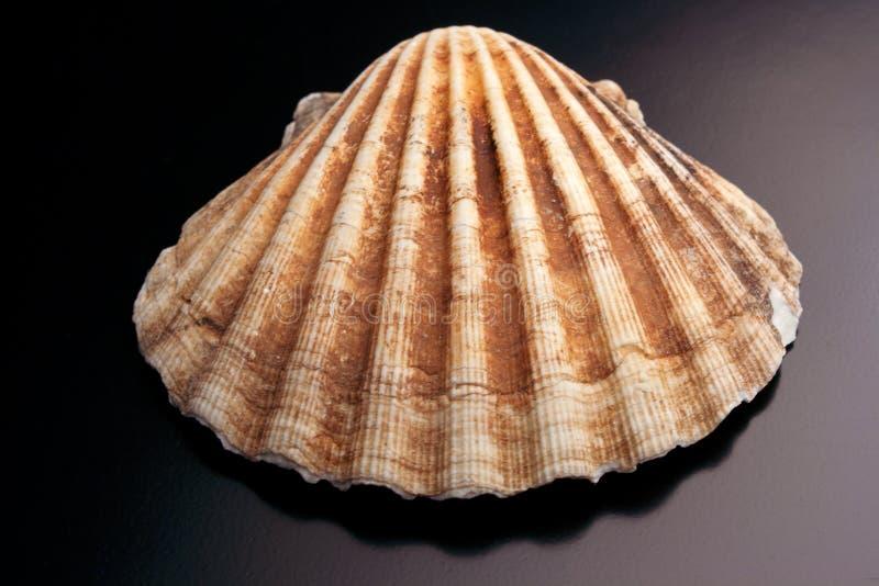 Kammusslaskal - garneringobjekt arkivbild