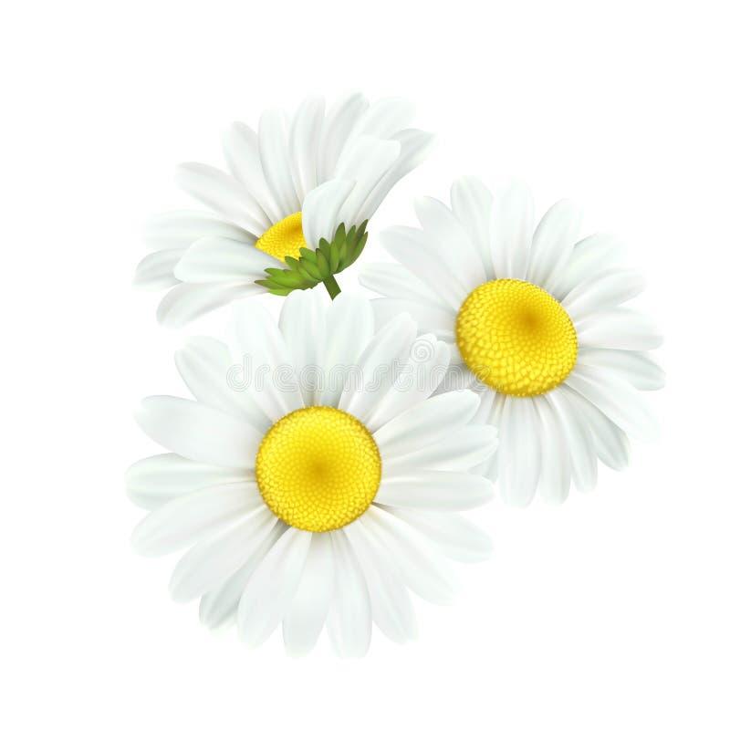 Kamomill Daisy Flower Isolated på vit bakgrund också vektor för coreldrawillustration stock illustrationer