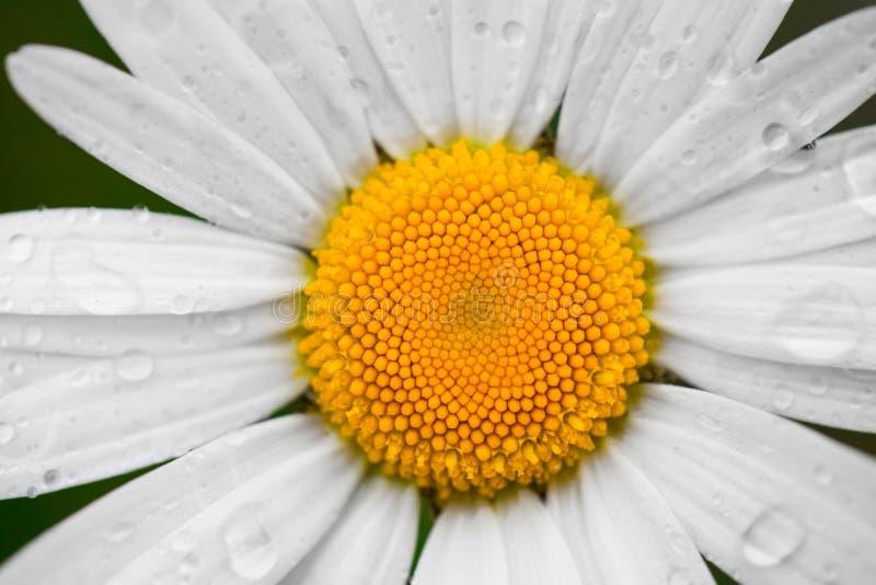 Kamomill- eller kamomillblomma med droppar av vatten på de vita kronbladen efter regn på den gröna bakgrunden Närbild royaltyfria bilder