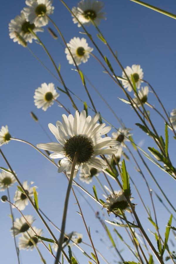 Kamomill i fältet Vita tusenskönor i ängen Blommor på våren arkivfoton