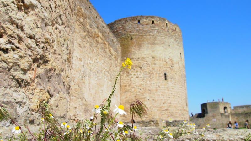 Kamomill på bakgrunden av en gammal fästning royaltyfria bilder