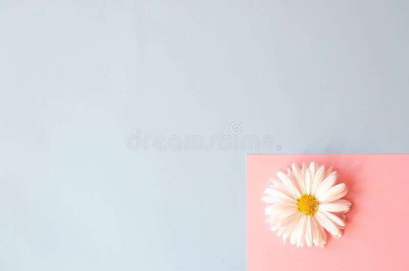 Kamomill på rosa och blått papper fotografering för bildbyråer