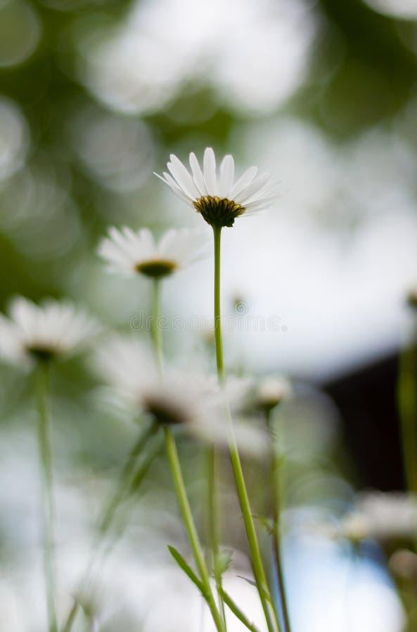 Kamomillar eller tusenskönablommor, sikt från jordningen Selektiv fokus, slut upp, suddig bild arkivfoton