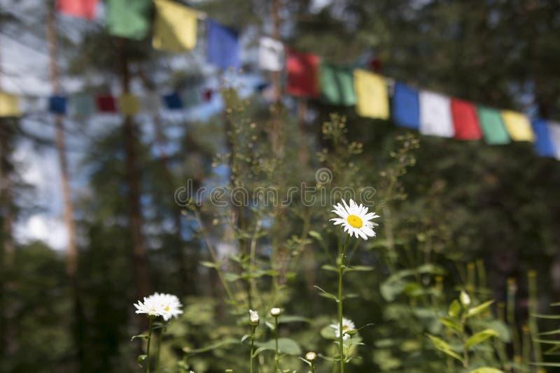 Kamomillar i en pinjeskog och färgrika bönflaggor arkivbilder