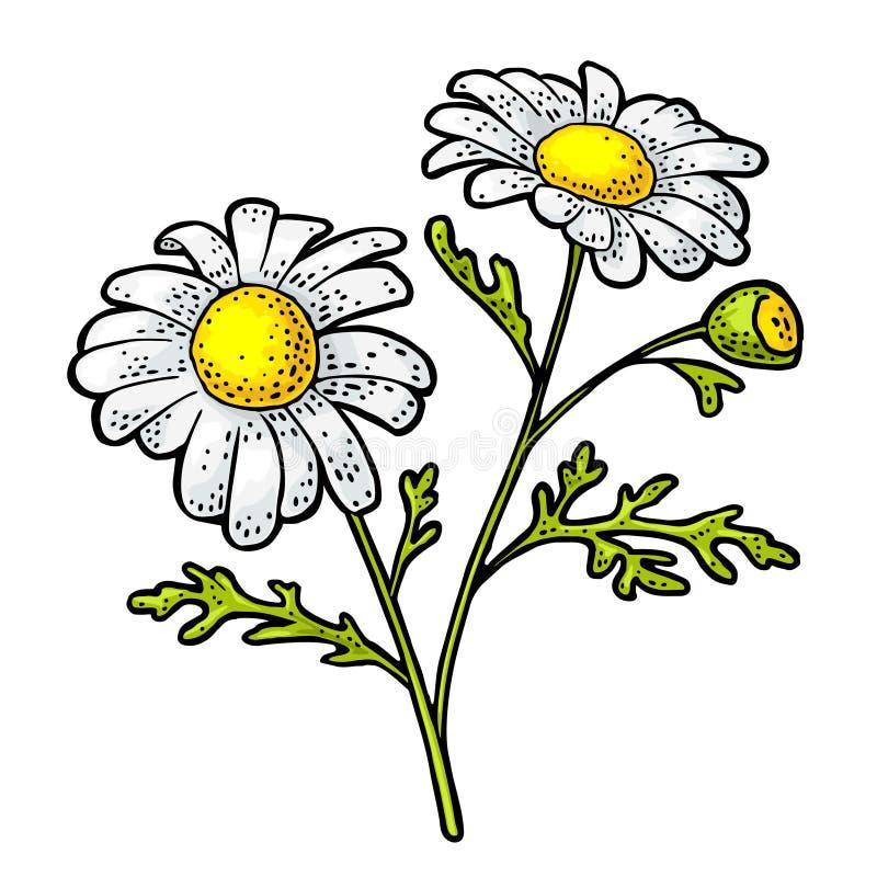 Kamomillblomma med bladet Illustration för färggravyrtappning på vit bakgrund stock illustrationer