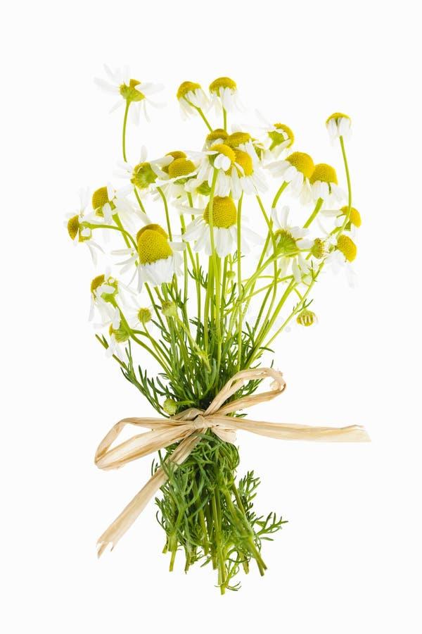 Kamomillen blommar på vit royaltyfria foton