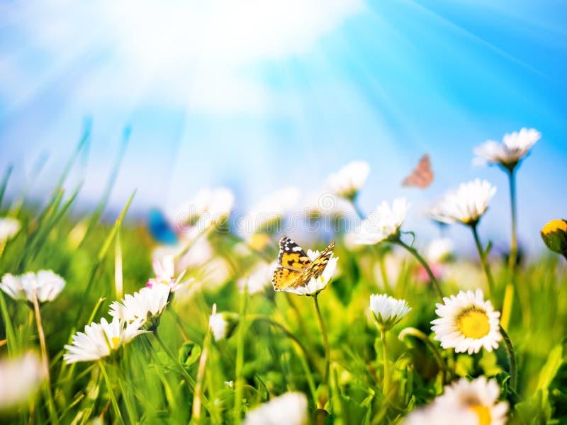 Kamomilltusenskönor i grönt fält på bakgrund för blå himmel med solsken och flygafjärilen Naturligt landskap för sommar med kopia arkivbild