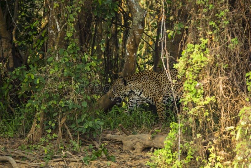 Kamouflage: Lösa Jaguar som går till och med tät djungel royaltyfri bild
