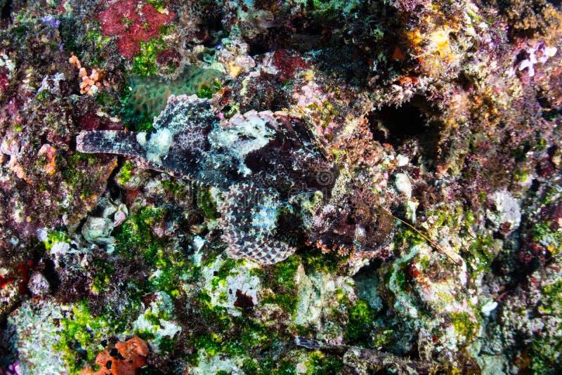Kamouflerad Scorpionfish i Indonesien fotografering för bildbyråer