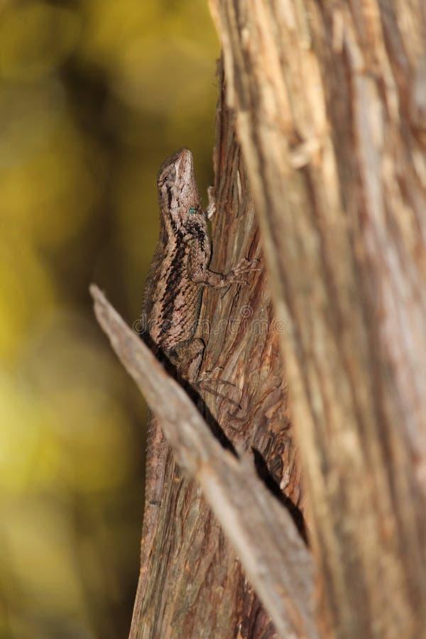 Kamouflerad Texas taggig ödla i träd royaltyfri foto