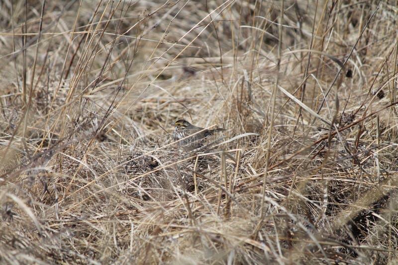 Kamouflerade Savannah Sparrow royaltyfria foton