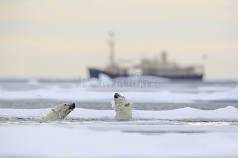 Kamp av isbjörnar i vatten mellan drivais med snö, suddig kryssningchip i bakgrund, Svalbard, Norge arkivfoton