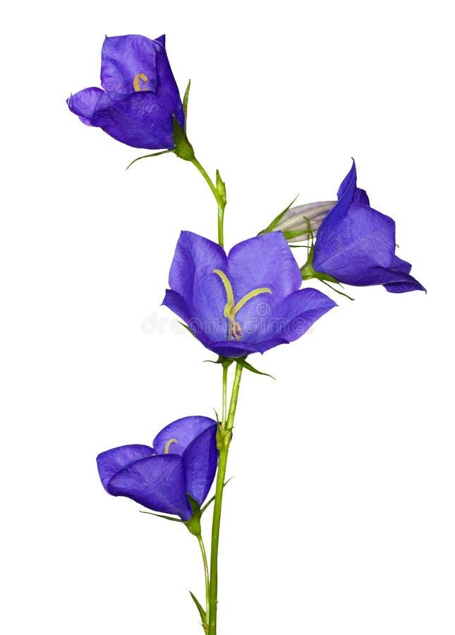kampanula błękitny kwiaty odizolowywali biel obraz stock