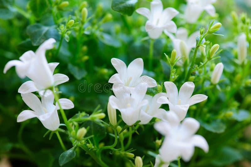 Kampanuli wiosny biali kwiaty z pączkami obraz royalty free