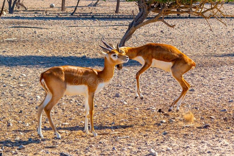Kampen av två unga antilop i en safari parkerar på Sir Bani Yas Island, Abu Dhabi, UAE arkivfoton