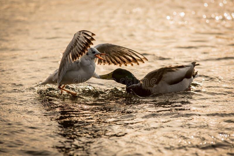 Kampf auf Wasser stockbild