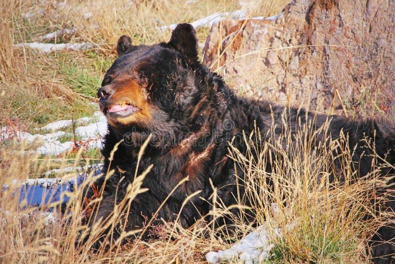 Kampf-geschrammter schwarzer Bär lizenzfreie stockfotos