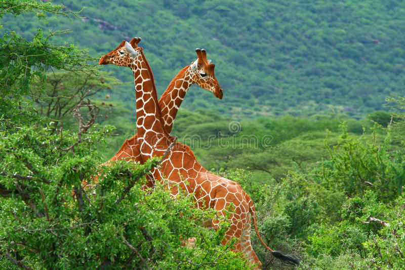 Kampf von zwei Giraffen stockbild