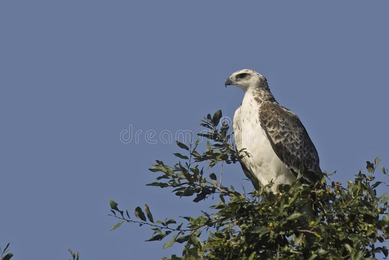 Kampfadler {Polemaetus Bellicosus} stockbild