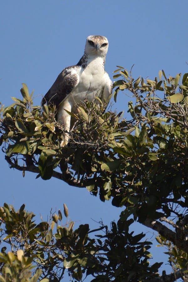 Kampfadler (Polemaetus-bellicosus) (Jugendlicher) lizenzfreies stockfoto