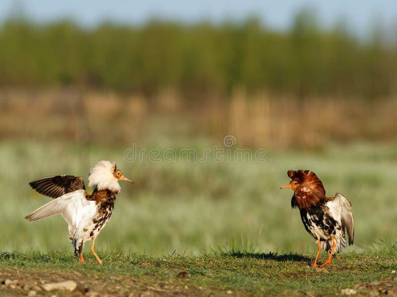 Kampfläufer (Philomachus pugnax) lizenzfreie stockfotografie
