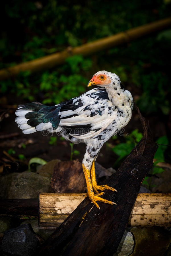 Kampong chicken in Indonesia. Photo was taken in Jember, Indonesia stock images