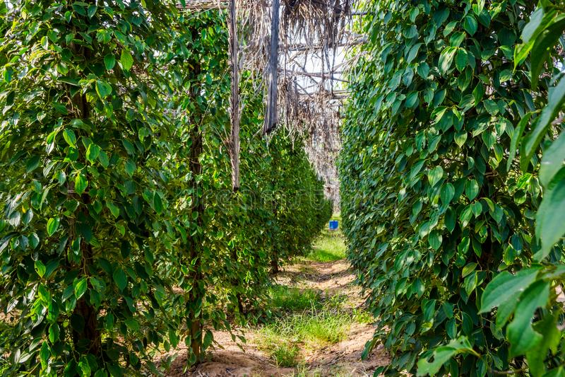 Khmer pepper farm, Kampot. Kampot pepper farm, pepper plant growing, Kampot, Cambodia royalty free stock photo