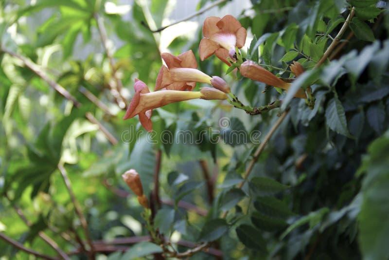 Kampsis rosa su fondo verde chiaro fotografie stock