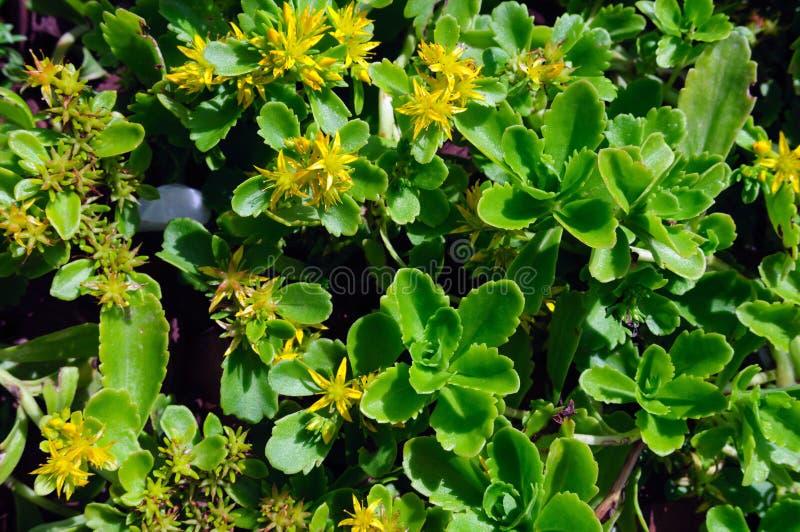 Kamtschaticum jaune de sedum de fleurs dans le jardin image libre de droits