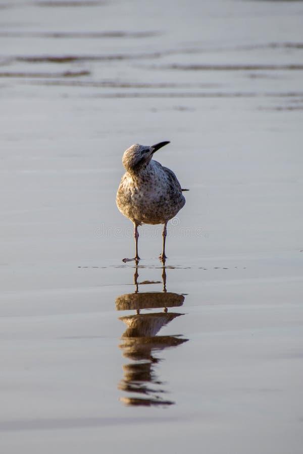 Kan du höra det seagullen med örat till jordningen eller ögon till himlarna på en sandstrand royaltyfri bild